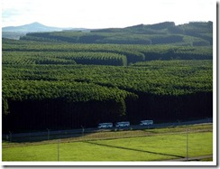 floresta_eucalipto
